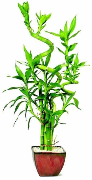 הצמחים שיביאו אושר ועושר לבתיכם