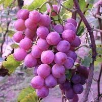 סדנאות יין לכל המשפחה בבל עופרי ברמת הגולן – כולל בציר ענבים, דריכתם בגת ושתיית יין התירוש