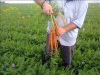 שטראוס הודיעה על מיזם ירקות חדש בשיתוף עם קיבוץ שלוחות: