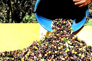 פסטיבל ימי ענף הזית 2015 בגליל בעמקים ובגולן