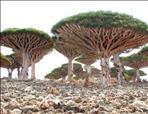דם הדרקון – שרף עץ הקרוטון מדרום אמריקה עם חומר פעיל טבעי לריפוי פצעים