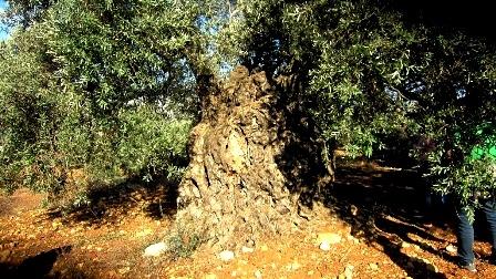 שוב חוגגים בפסטיבל ענף הזית ה- 19